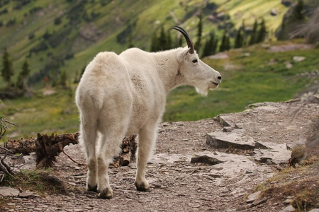 billy: A mountain goat on the trail to the hidden lake at the Glacier National Park, Montana  In the Logan pass area