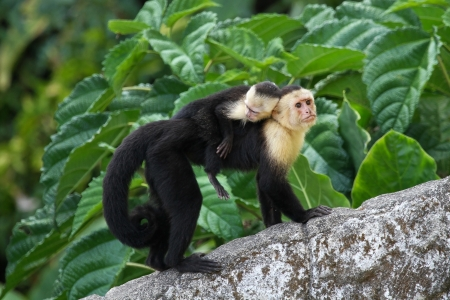 An adult white-faced capauchin monkey in Costa Rica carrying a baby on it's back.
