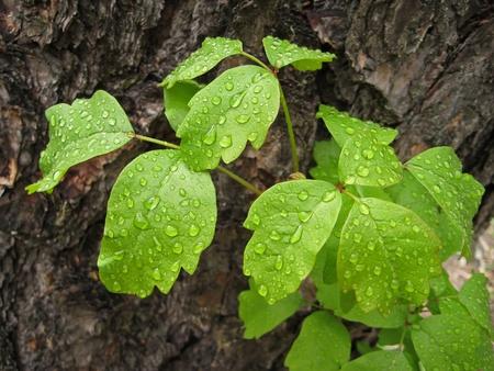 비 후 물방울 옻이 식물의 잎