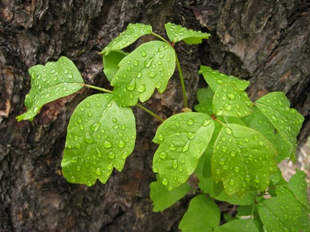 Leaves of poison oak plant with water droplets after rain Imagens - 14717118