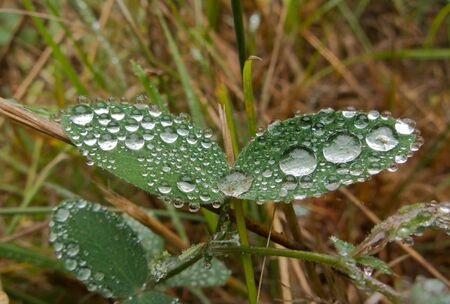 Spherical dew drops on a pair of leaves photo