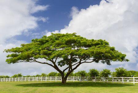A green tree standing next to a white fence  Taken at Kauai