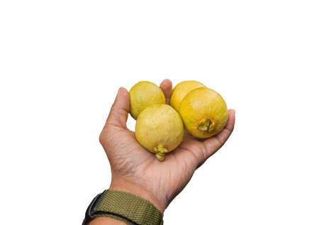 밖으로 들고 손에 네 개의 노란색 립 야생 guavas 스톡 콘텐츠