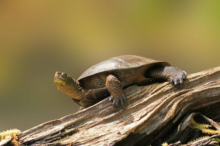 Wester pond turtle on a lof sunbathing