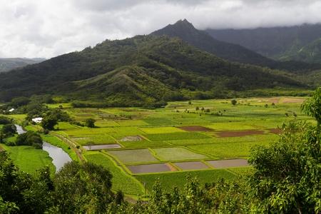 하와이 카우아이에서 Hanalei 전망대에서 볼 때 무성한 타로 필드