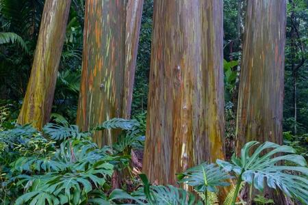 Wet rainbow Eucalyptus Trees Imagens