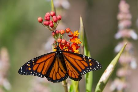 날개가 펼쳐져있는 꽃에 바둑 나비