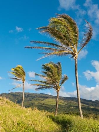 바람에 흔들리는 세 코코넛 나무