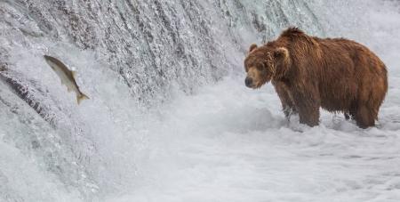 A Brown bear fishing at the Brooks Falls at Katmai National Park, Alaska