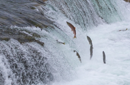 upstream: Sockeye salmon jumping up Brooks falls during their annual migration at Katmai National Park, Alaska Stock Photo