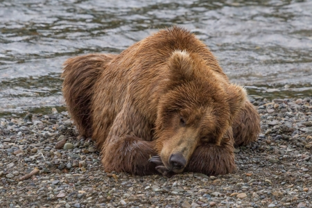 brown bear: A Brown bear taking a nap by the Brooks river at Katmai National Park, Alaska Stock Photo
