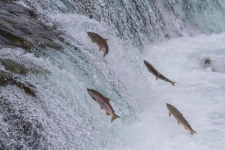 カトマイ国立公園、アラスカでの年間の移行の中に落ちる紅鮭ブルックスをジャンプ