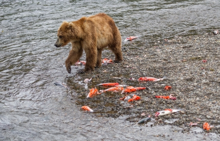 브룩스의 연어 실행의 여파는 카트 마이 (Katmai) 국립 공원, 알래스카에 폭포