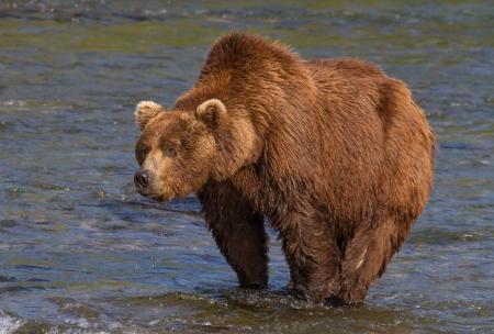A huge grizzly at Katmai National Park, Alaska Imagens