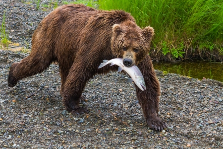 Een grizzly in Katmai National Park loopt met het photo