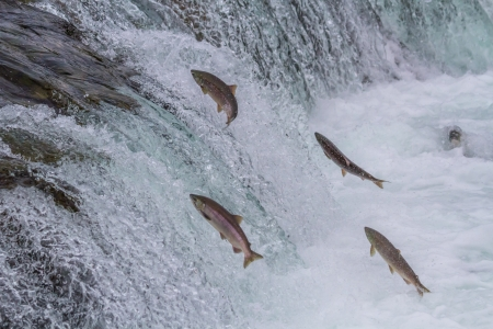 upstream: Sockeye salmon jumping up Brooks falls during the annual migration at Katmai National Park, Alaska