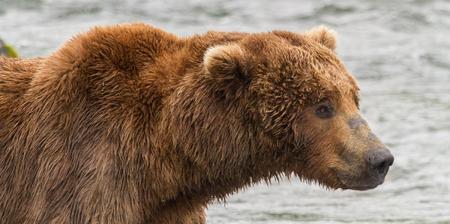 Portrait of a Grizzly Bear at Katmai National Park, Alaska