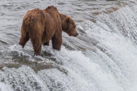 Grizzly Bear Waiting for Salmon at Brooks Falls, Katmai National Park, Alaska Imagens