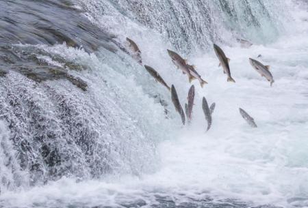 브룩스 점프 연어는 카트 마이 국립 공원, 알래스카에 폭포 스톡 콘텐츠