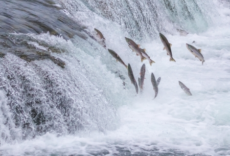 upstream: Salmon Jumping Up the Brooks Falls at Katmai National Park, Alaska Stock Photo