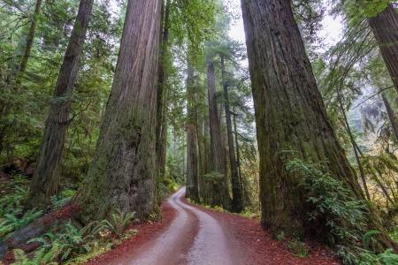 캘리포니아의 Jediah Smith 주립 공원에서 거대한 해안 Redwoods 스톡 콘텐츠