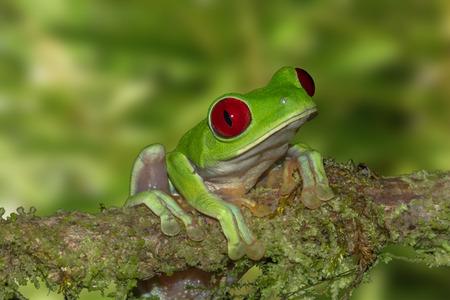 코스타리카에서 분기에 빨간색 나무 개구리