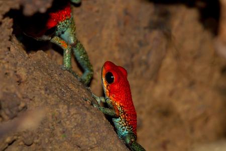 코스타리카에서 밝은 색깔의 세분화 된 독 화살 개구리의 쌍