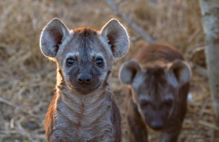 호기심 Hyena 강아지 크루 거 국립 공원, 남아 프리 카 공화국에서 스톡 콘텐츠
