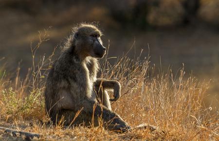 개 코 원숭이 크루 거 국립 공원, 남아 프리 카 공화국에 앉아