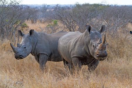 화이트 코뿔소 크루 거 국립 공원, 남아 프리 카 공화국에서 방목의 쌍 스톡 콘텐츠