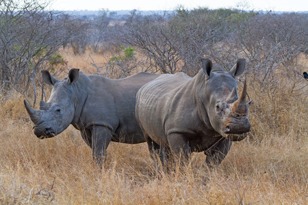 Pair of White Rhinos Grazing at Kruger National Park, South Africa photo