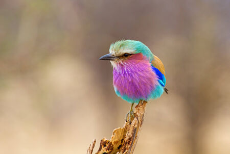 kruger national park: Lilac Breasted Roller Perched