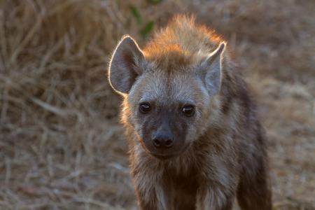 Hyena at Kruger National Park
