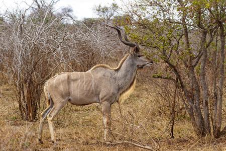 성인 Kudu 먹이 크루 거 국립 공원, 남아 프리 카 공화국에서 스톡 콘텐츠