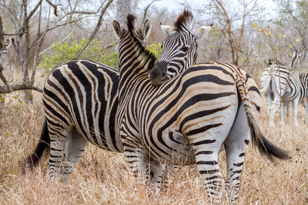 Zebras Cuddling at Kruger National Park, South Africa Imagens