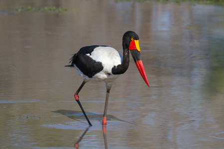 Saddle-billed Stork Searching for Food