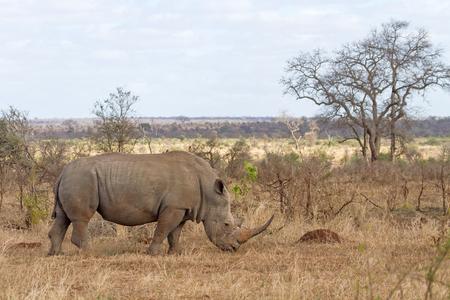 남아 프리 카 공화국 크루 거 국립 공원에서 방목하는 화이트 코뿔소 스톡 콘텐츠