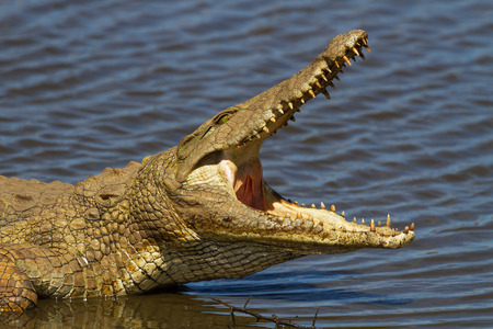 croc: Nile Crocodile on the River Bank with Mouth Open