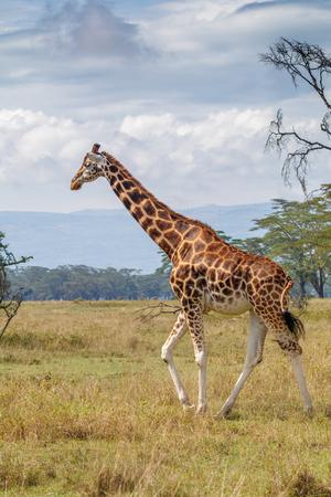 로스 차일드 국립 공원, 케냐의 Rothschild Giraffe