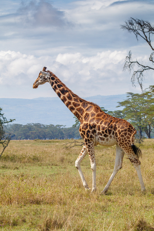 Rothschild Giraffe at Lake Nakuru National Park, Kenya