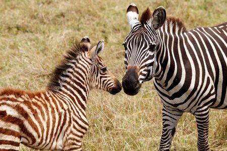마사 마라 국립 준비 제도 이사회, 케냐의 어머니와 새끼 스톡 콘텐츠
