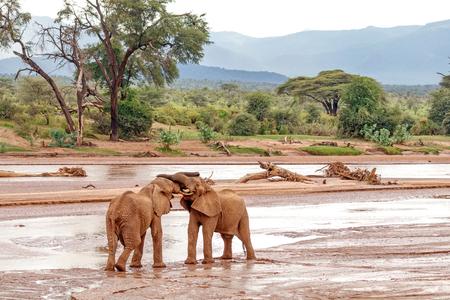 두 젊은 코끼리 황소 싸움 Samburu 국립 준비 제도, 케냐에서 재생