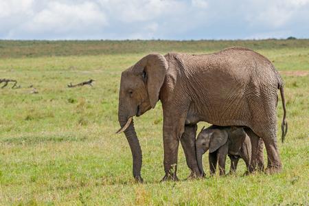 Afrikaanse Olifant en Kalf in Masai Mara Nationaal Reservaat, Kenia Stockfoto