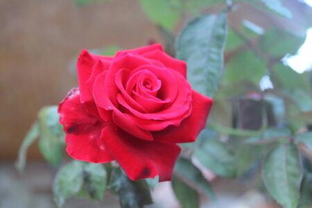 merah: mawar merah  red rose  Stock Photo