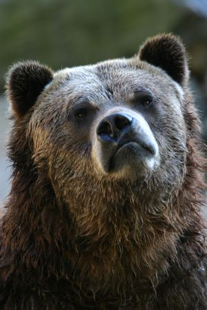 captive: Grizzly bear (Ursus arctos) with funny expression (captive)