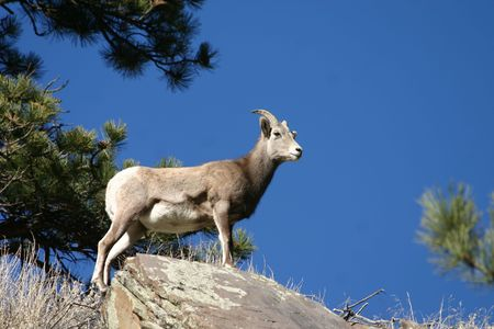 ovis: Bighorn sheep (Ovis canadensis), Rocky Mountain National Park, Colorado