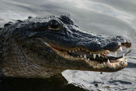 swampland: American alligator (Alligator mississippiensis) eating catfish, Everglades National Park, Anhinga Trail, Florida