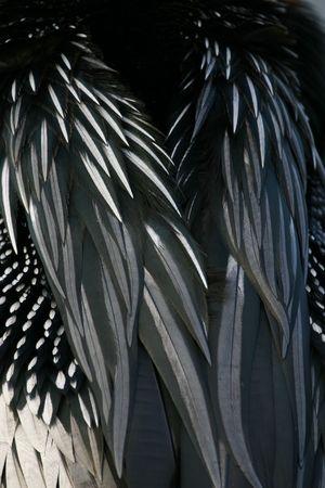 Anhinga (Anhinga anhinga) feathers detail, Everglades National Park, Anhinga Trail, Florida