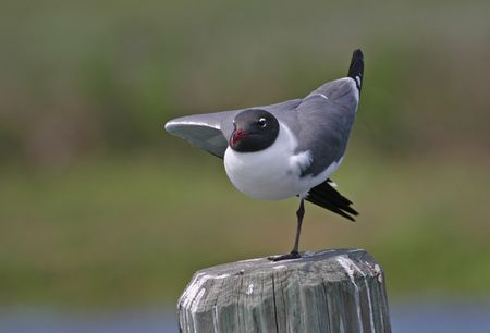 Laughing gull (Larus atricilla), Cape May, New Jersey photo
