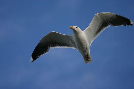 Herring gull (Larus argentatus) in flight, Cape May, New Jersey photo